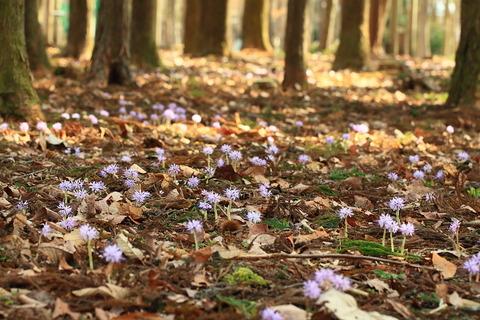 春の花・ショウジョウバカマの花、乱立す!(栃木県さくら市)