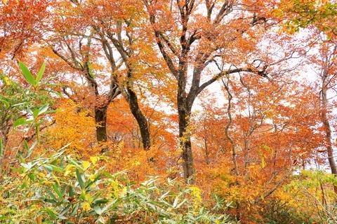 日本300名山の浅草岳:黄葉紅葉ブナの森!