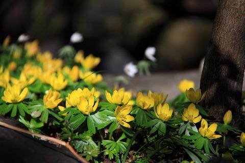 セツブン草・微笑みの春の花に出会った! 栃木百名山・三峰山