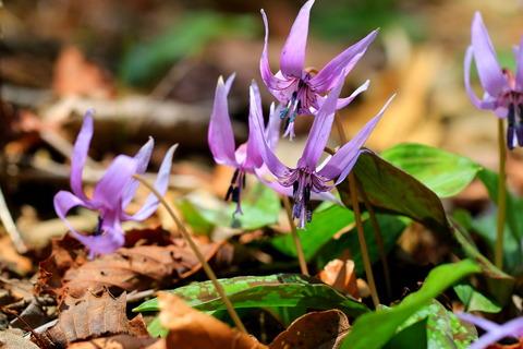 八溝山地、茗荷沢で春のお花と語り合う!