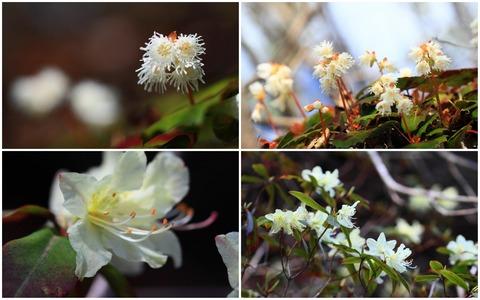 古賀志山で、春の花と出逢うヤマ旅(ヤマイワカガミとヒカゲツツジ)