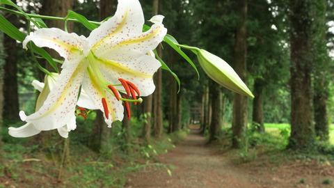 夏のお花が咲きだした(里山散策でヤマユリ!)