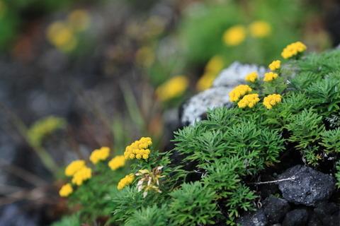 初秋の那須を歩く!(イワインチンとマツムシソウ、たくさんの花たち!)