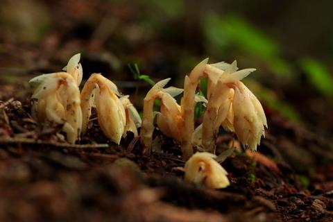 塩原渓谷歩道にて、腐生植物と出会う!