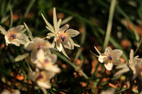御嶽山神社で節分草。可憐な咲き具合(#^^#)!