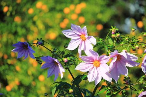 里山散策:淡いピンクの優しい花皇帝ダリアに出会う!