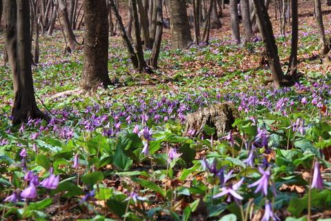 満面の微笑みカタクリの花たち(栃木県那珂川町カタクリ山公園)