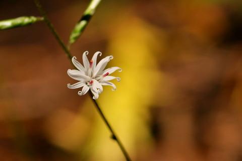 キッコウハグマが咲きだした(大沼&小沼で秋色散策!)