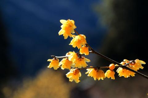 ろう梅の里で春を満喫!(栃木県鹿沼市上永野)