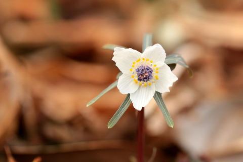 春の妖精:セツブンソウ(柿平町:山野草の里編)