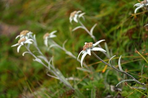花の百名山:早池峰山でハヤチネウスユキソウに出会う!