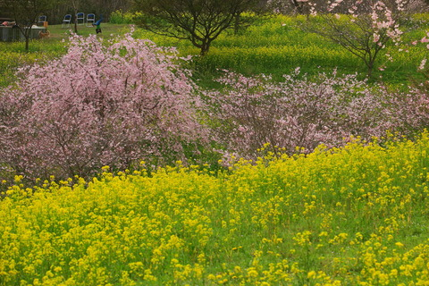 小宅古墳群は春の花園(#^^#)v!(栃木県益子町)
