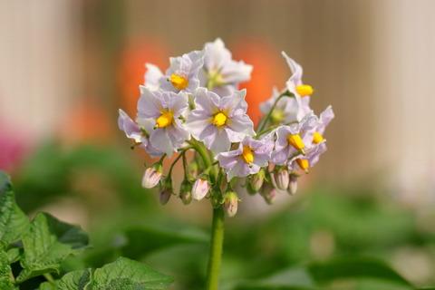 ジャガイモのお花が咲いた庭先散歩!