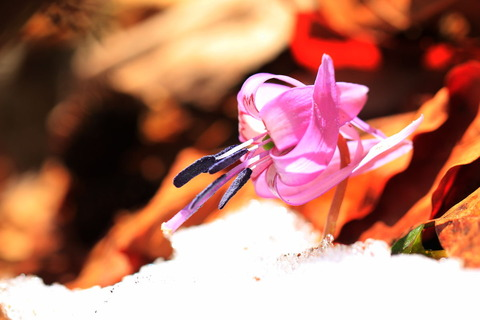 裏八溝:ふれあい遊歩道で、雪とお花のコラボ!