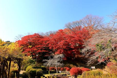 イロハモミジが笑う秋色φ(゜▽゜*)♪ 佐久山御殿山公園