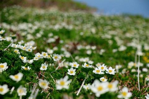 ハクサンイチゲが咲き乱れる焼石岳!