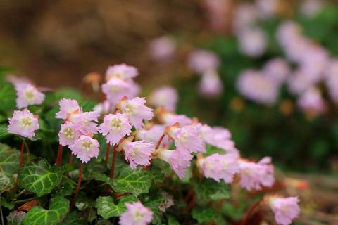 イワウチワ・春の使者舞い踊る花瓶山(栃木百名山)