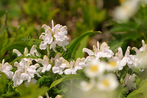 東焼石岳(雲上の花畑:ハクサンイチゲが咲き乱れる!)