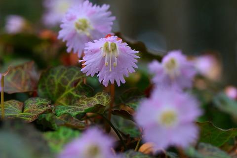 淡い春の花イワウチワ(栃木県那珂川町!)
