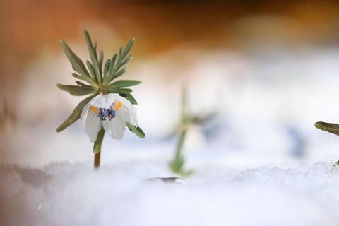 雪の中のセツブンソウ(*''▽'')♪(野の花自然公園花之江の郷)