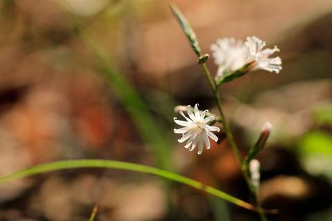 日光国立公園「大沼」でキッコウハグマを愛でる!