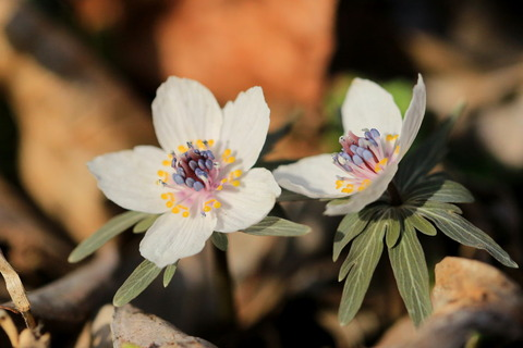 星野の里で早春の花を楽しむ!