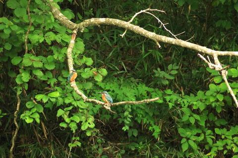 カワセミが棲む森(里山の森を散策!)