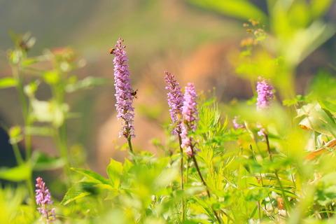 お花のトレイル那須を歩む!(三本槍岳から大峠)