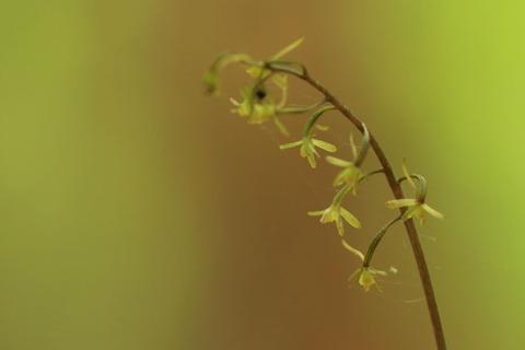 小さなラン科のお花とバイケイソウが咲いた(大沼公園で気持ちの入れ替え!)