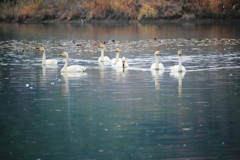 白鳥を訪ねて里山散策!