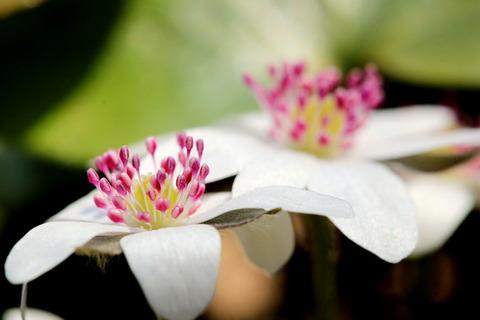 春の妖精:雪割草を愛でる(みかも山公園)