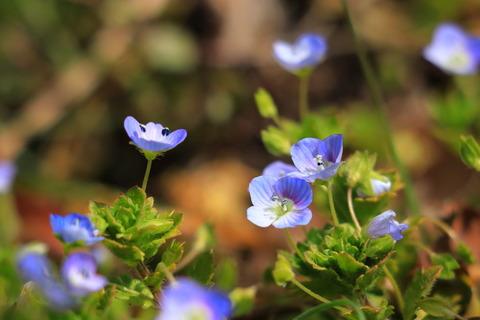小さな春を探して里山散策:喜連川丘陵にて星の瞳三昧!