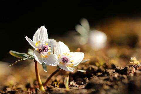 春の妖精:セツブンソウ(星野の里編)