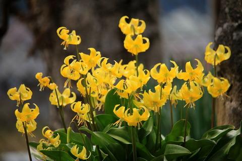 キバナカタクリが満開(春の良きに庭先散歩!)
