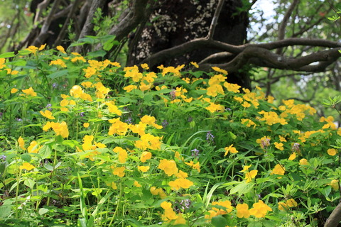 好日散歩・山吹草咲く公園、栃木県さくら市