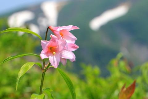 浅草岳で姫小百合!(百花繚乱なるお山の花たち)