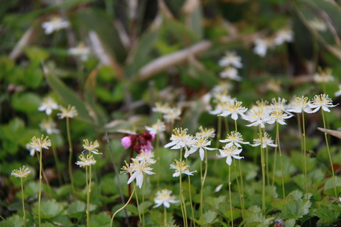 那須山登山・那須は花真っ盛り!ミツバオウレンの舞い