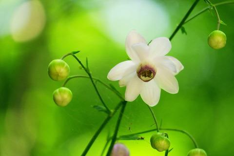 レンゲショウマ咲きだした(^^)v(栃木県民の森:宮川渓谷歩道)