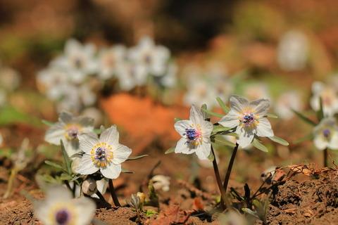 春の妖精:セツブンソウを愛でる(野の花自然公園花之江の郷)