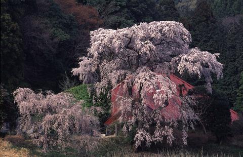 芳賀富士(栃木百名山:安善寺のしだれ桜、樹齢350年、春の力を満喫した!)