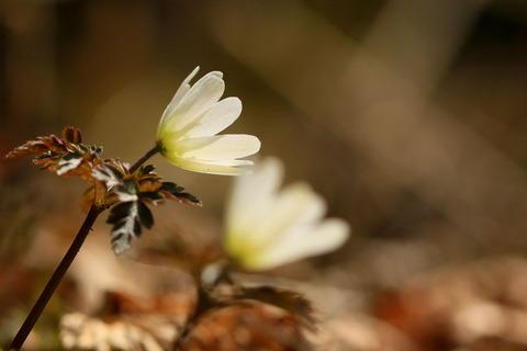 春のお花を探しにミツモチ山(栃木県矢板市)