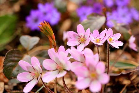 花の百名山:角田山(雪割草と戯れる!)