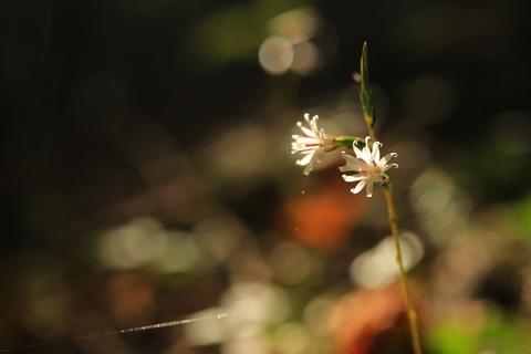 初秋の森でキッコウハグマ!(大沼園地)