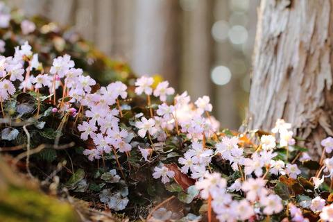 富山のイワウチワ!(あったか陽射しに笑顔がいっぱ~い春の花!)