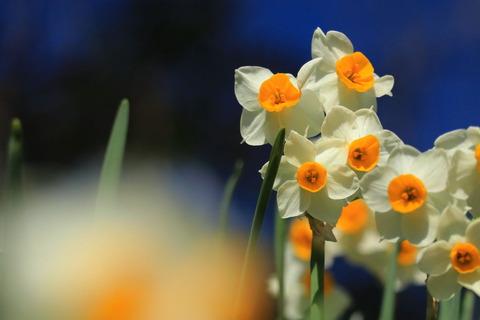 春の幸せ水仙花!(清水寺の森)