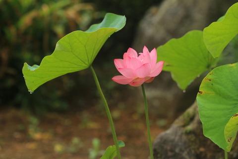 清らかな心を込めて蓮の花!