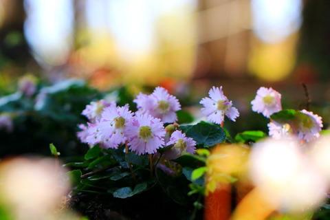 八溝山地の春!(富山のイワウチワ~ぁ🌸🌸🌸)