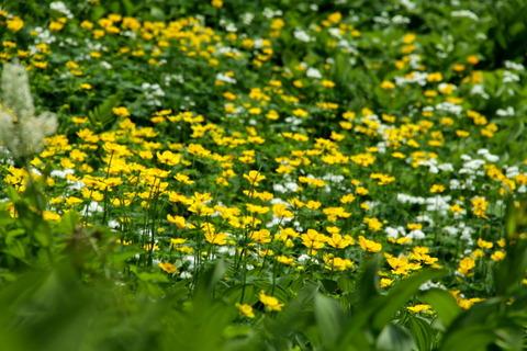 花咲く高層湿原。西吾妻山!