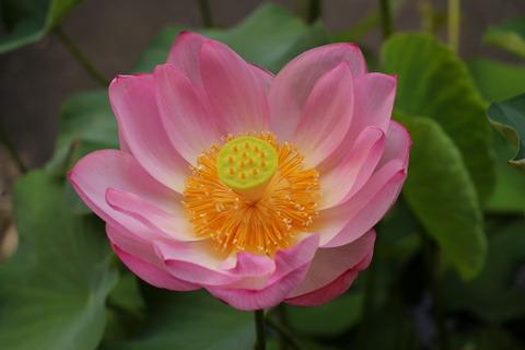 庭先の蓮の花!