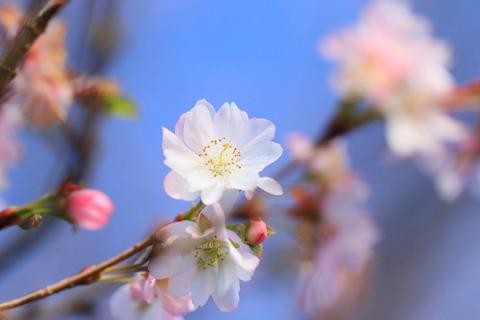 冬桜を撮ってみた(#^^#)!